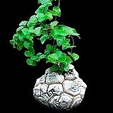 龟甲龙种子10립