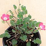 분홍풍로초