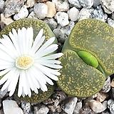 (L024) 특 알비니카 C36A(흰꽃) 씨앗 20립
