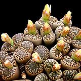 生石花브롬필드믹스种子(30립)