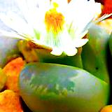 리톱스 옵티카 믹스 씨앗 (30립) /리톱스씨앗|Lithops