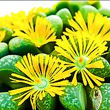 리톱스 헬무티(c271) 씨앗 (30립) /리톱스씨앗|Lithops