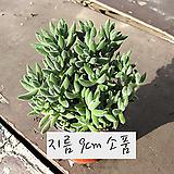 은전(촉많은 여러대) 지름 9cm 소품화분 (단일품목 구매시 5천원 이상 배송가능)|Crassula mesembryanthoides