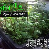 페퍼민트 허브모종 2개(1000원) 서울육묘생산 정품모종(단일품목 구매시 5천원 이상 배송가능)|