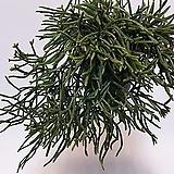 립살리스 프라카룸/틸란/틸란드시아/행잉플랜트/갈대선인장/에어플랜트 (공중식물)/소품/공기정화 식물/인테리어 효과도 좋아요...