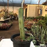 Myrtillocactus geometrizans Cons