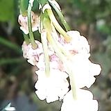 분홍은방울꽃