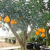 따봉한라봉나무-맛있는식용열매약20년이상|
