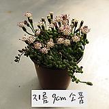 콩난(녹영) 지름 9cm 소품화분 (단일품목 구매시 5천원 이상 배송가능)|