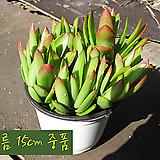 화제(화재) 지름 15cm 중품화분(공기정화효과)|Crassula Americana cv.Flame