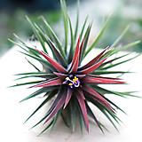이오난사 틸란드시아 먼지먹는식물 미세먼지제거식물 실내공기정화식물 공기정화식물 Tillandsia
