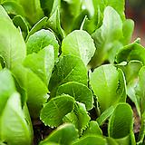 청로메인모종(6개)