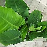 콩고(그린색)중품 