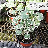 플라워오브스프링(Flower of Spring) 지름 9cm 소품화분 (단일품목 구매시 5천원 이상 배송가능) 제라늄