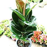 멜라닌고무나무(중)|Ficus elastica