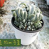 특엽옥접(E. runyonii 'Topsy Turvy') 지름 15cm 중품화분|Echeveria runyonii Topsy Turvy