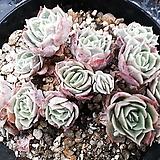 Echeveria cv  Onslow