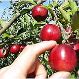 알프스오토메 왜성 미니사과나무 분달이 특대품♥오도메 오또메 사과나무 사과 묘목 애기사과