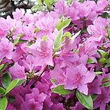 영산홍 연산홍 철쭉♥자산홍 베니 석암 백철쭉 묘목|