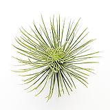 [풀장사] 안드레아나/틸란드시아/미세먼지제거/희귀식물/에어플랜트/공기정화식물/홈가드닝/새집증후군제거/행잉프랜트/반려식물/제이씨헤르바
