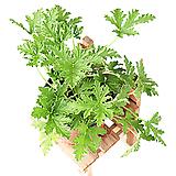 구문초 Pelargonium capitatum