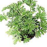구문초(중) Pelargonium capitatum