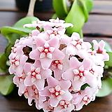리본Hoya carnosa꽃피는리본Hoya carnosa공중식물