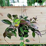 룩타워Hoya carnosa공중식물happy treehappy treeCodiaeum Variegatum Blume Var Hookerianum Zamioculcas zamiifolia아레카Begonia공중식물Hoya carnosa수투키Ficus elastica