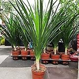 드라코 / 공기정화 식물(80~90cm내외)