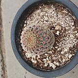 자태양 - 선인장|Echinocereus rigidissimus Purpleus