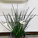 [진아플라워] 청순가득 흰꽃 나도사프란 / 제피란서스 카리나타 / 실란/샤프란