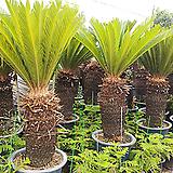복고소철나무|