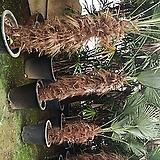도시로야자나무 탁월한 공기정화수 멋진외목|