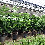 알루카리아나무 탁월한 공기정화수 -특왕대|