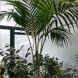 겐차야자나무 이쁜외목 탁월한 공기정화수-단품|