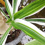 무늬문주란-두꺼운목대 기막힌 향기100|