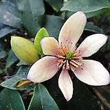 함소화향기나무-맛있는바나나향기 약5년생