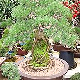해송근상분재나무-특급 명품-최고급분갈이화분|