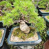 해송근상분재나무-특급 명품-최고급분갈이|