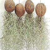 미니코코넛&수염틸란드시아 / 에어플랜트 Tillandsia