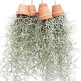 미니토분&수염틸란드시아 /에어플랜트/공중식물 Tillandsia
