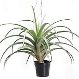 플렉수오사 비비파라(대형)/에어플랜트/공중식물/틸란드시아 Tillandsia