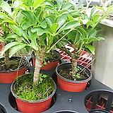 홍콩야자나무이쁜외목3년생공기정화탁월