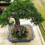 해송근상분재나무특급 명품-최고급분갈이화분|