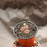 끈끈이주걱 피그미 - 벌레잡이 식충식물
