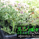 천연모기퇴치효과 로즈제라늄(구문초) 허브모종 700원(단독주문시 5세트이상주문가능)|pelargonium inquinans