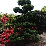 가이즈까 향나무,향나무 H1.0, H1.2, H1.5