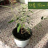 유칼립투스레몬(Eucaliptus lemon) 레몬부쉬 지름 15cm 중품화분 허브|