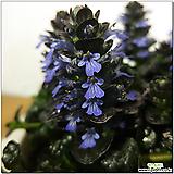 벌레잡이제비꽃(에셀리아나)