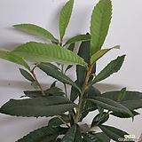 항암식물 비파나무(수고1m내외)|